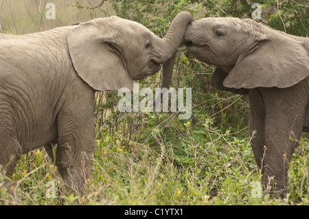 Stock photo of two baby elephants playing with their trunks. - Stock Photo