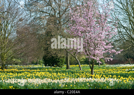 Daffodils and trees in bloom in early spring, Hampton Court Palace grounds, Surrey, England, UK - Stock Photo