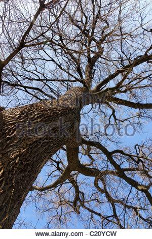 Pedunculate Oak also named English oak - Quercus robur pedunculata - Chêne pédonculé - Stock Photo