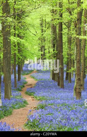 Bluebells(Hyacinthoides non-script)  in beech tree (Fagus sylvatica) wood, Hertfordshire, England, UK