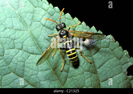 Tenthredo scrophulariae Figwort sawfly female basking on figwort. England - Stock Photo