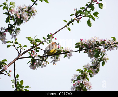 A Cedar Waxwing perched in an apple tree surrounded by blossoms in the Spring. - Stock Photo