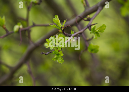 Hawthorn tree showing the first of its new leaves - Stock Photo