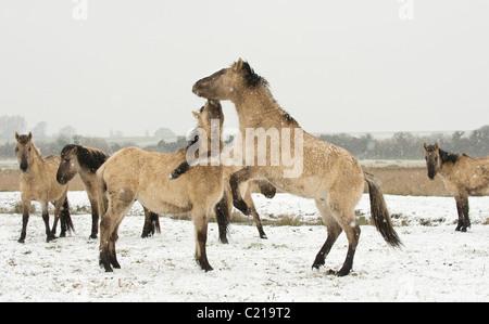 Konik horse (Equus caballus). Ham Fen Nature Reserve, Kent, UK - Stock Photo