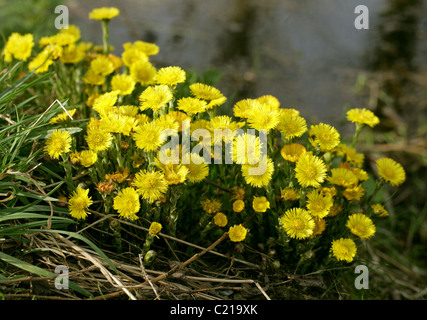 Coltsfoot, Tussilago farfara, Asteraceae - Stock Photo