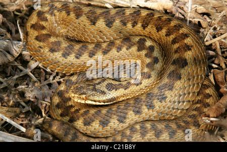 Female European Adder or Viper, Vipera berus, Viperinae, Viperidae, Serpentes, Squamata. In Bracken, Rammamere Heath, - Stock Photo