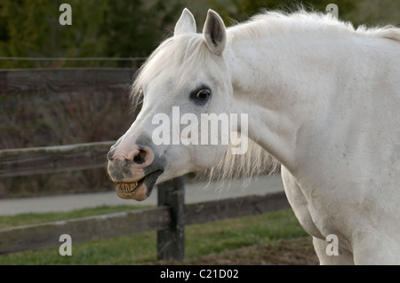 Smiling white Arabian Horse, head shot, portrait, funny, facing left with fence in background - Stock Photo