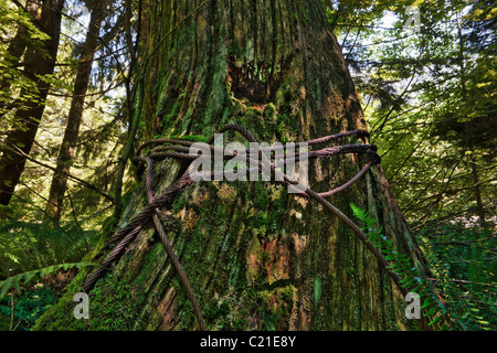 An old growth tree stump bound up by a rusting steel cable. - Stock Photo