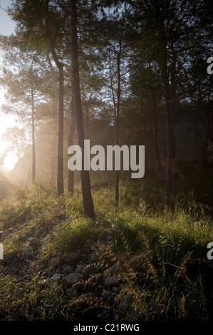 early morning mist in forest misty sun sunlight rise sunrise sunrises fresh air crisp air pine soft light cool forests - Stock Photo