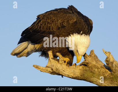 Bald Eagle sitting on tree trunk at the beach of Kachemak Bay near Homer at the Homer Spit in Alaska eating on fish - Stock Photo