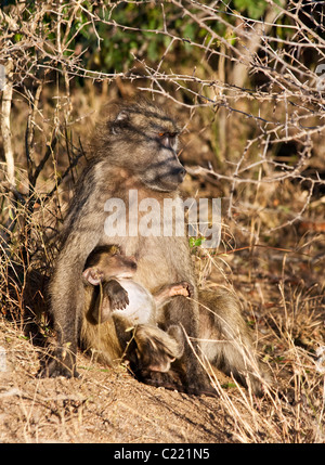 Mother and Baby Chacma Baboon, Papio Ursinus, Kruger National Park, South Africa sitting under tree at end of day - Stock Photo