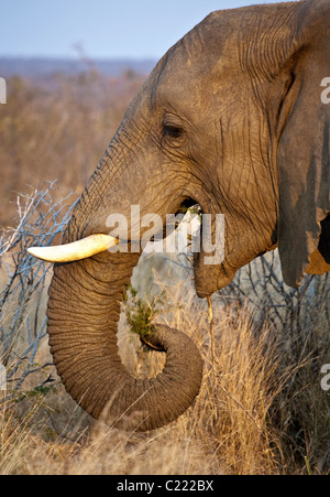 Lone Male Bull African Elephant, Loxodonta Africana eating grass and tree at end of day dusk - Stock Photo