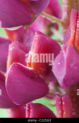 Lupinus 'Masterpiece' Lupin June - Stock Photo