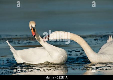 Mute swans in territorial dispute on frozen lagoon-Victoria, Vancouver Island, British Columbia, Canada. - Stock Photo