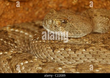 Western Diamond-backed Rattlesnake(s) (Crotalus atrox) -Arizona – USA - Sonoran Desert - Emerging from winter hibernation - Stock Photo