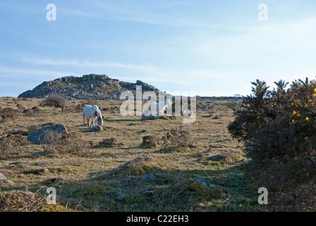 Wild ponies at the foot of Sharp Tor near Henwood and Liskeard, Bodmin Moor, east Cornwall, UK - Stock Photo
