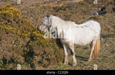 Grey wild pony grazing on gorse flowers in evening sunlight Longstone Downs Bodmin Moor Henwood near Liskeard east - Stock Photo