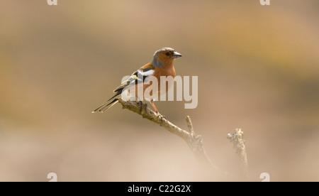 male Chaffinch, Fringilla coelebs, Zennor Cornwall - Stock Photo