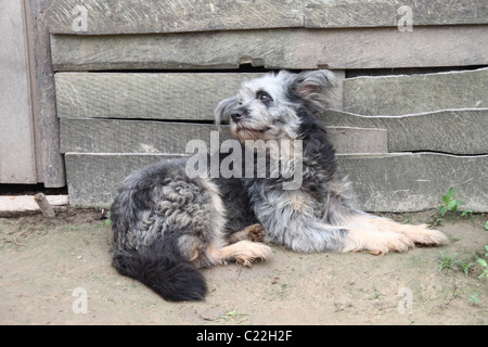 Black, gray and white dog infront of a weathered building - Stock Photo