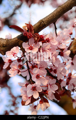 rose cherry blossoms against a blue sky. Shallow dof. - Stock Photo