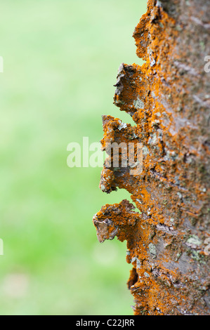 Prunus Avium Plena. Wild cherry. Double flowered white Cherry tree bark covered in Trentepohlia Algae - Stock Photo