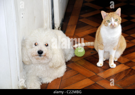 Poodle, ball and cat, Sao Paulo, Brazil - Stock Photo
