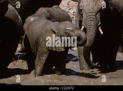Elephant baby drinking and taking mud bath while being protected by the adults. African elephant (Loxodonta africana) - Stock Photo