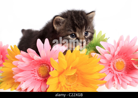 Little four week old black and beige striped kitten with colorful daisies on a white background - Stock Photo