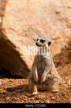 A Meerkat also known as the Suricate (Suricata suricatta) sitting on it's haunches - Stock Photo