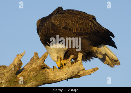 Mature Bald Eagles sitting on a dead tree trunk eating some fish at the beach of the Kachemak Bay near Homer in - Stock Photo