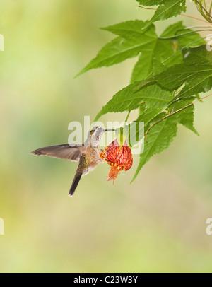 Speckled Hummingbird (Adelomyia melanogenys), Ecuador - Stock Photo