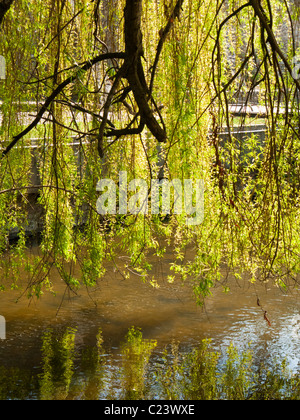 Weeping willow tree leaves backlit hanging over a small river, France, Europe - Stock Photo