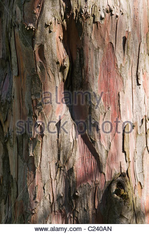 yew - Taxus baccata - Stock Photo