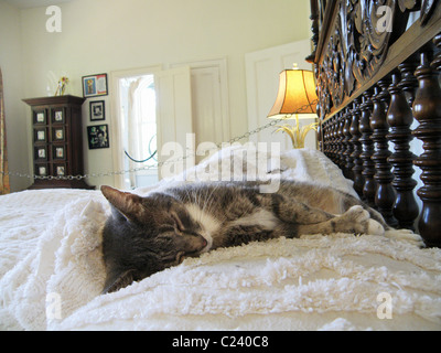 One of the famous cats, with five toes, sleeps on the bed in the master bedroom of the Hemingway house in Key West, - Stock Photo
