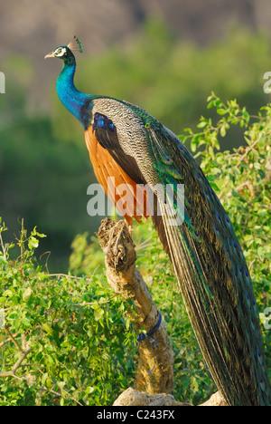 Wild Male Peacock (Pavo cristatus) in Yala West National  Park, Sri Lanka. - Stock Photo
