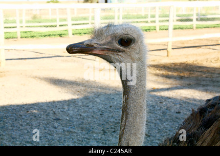 head of ostrich - Stock Photo