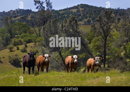 A Coastal Range CATTLE RANCH in central CALIFORNIA - Stock Photo