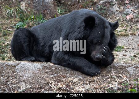The Asian black bear (Ursus thibetanus), known as 'Kala Bhalu' in Hindi, at the Padmaja Naidu Himalayan Zoological - Stock Photo