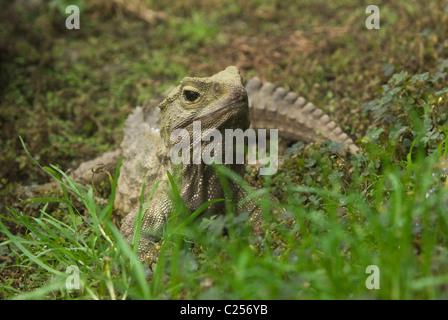 Common tuatara (Sphenodon punctatus) New Zealand. Captive - Stock Photo