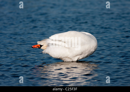 Adult Mute Swan (Cygnus olor) preening in shallow water - Stock Photo