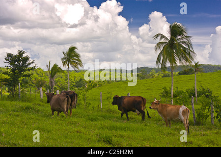 GUATEMALA - Cattle in pasture. - Stock Photo