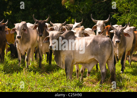 PETEN, GUATEMALA - Zebu cattle in pasture. Zebu cattle are better adapted to tropical environments. - Stock Photo