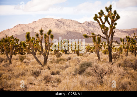 Joshua Trees in the Mojave Desert in the Mojave National Preserve, San Bernardino, CA - Stock Photo