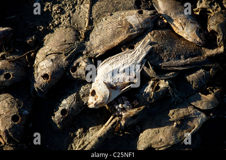 Dead talipia on the coast of the Salton Sea Imperial Valley, CA. The fish die from lack of oxygen and salt concentrations. - Stock Photo