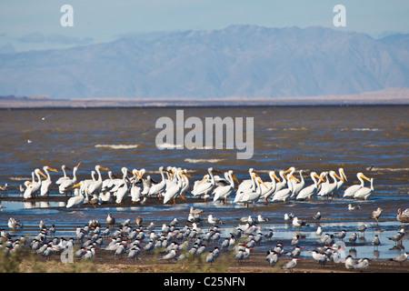 Migrating birds at the Sono Bono National Wildlife Preserve on the Salton Sea, California - Stock Photo