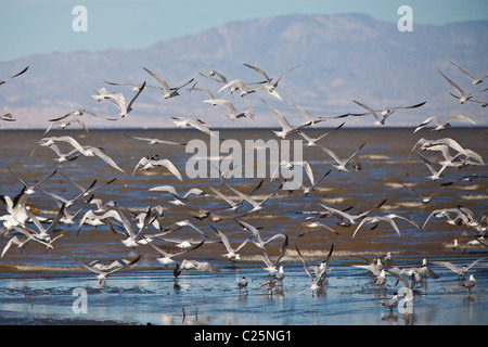 Migrating birds at the Sono Bono National Wildlife Preserve on the Salton Sea, California - Stock Photo