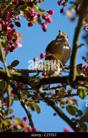female Chaffinch (Fringilla coelebs) - Stock Photo