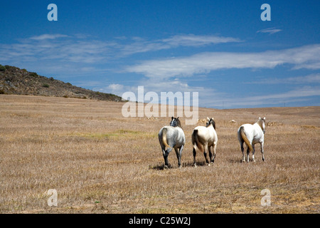 Horses roam on Darling plains in Western Cape - South Africa - Stock Photo