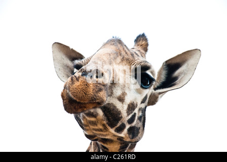 Rothschild Giraffe, Kenya, Africa - Stock Photo