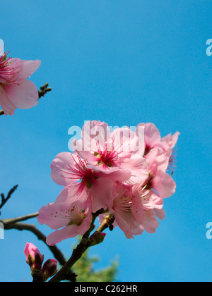 Almond blossoms - Stock Photo
